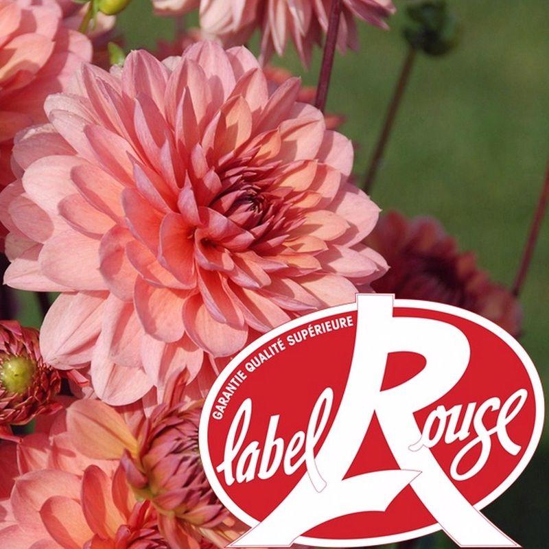 Des dahlias Label Rouge