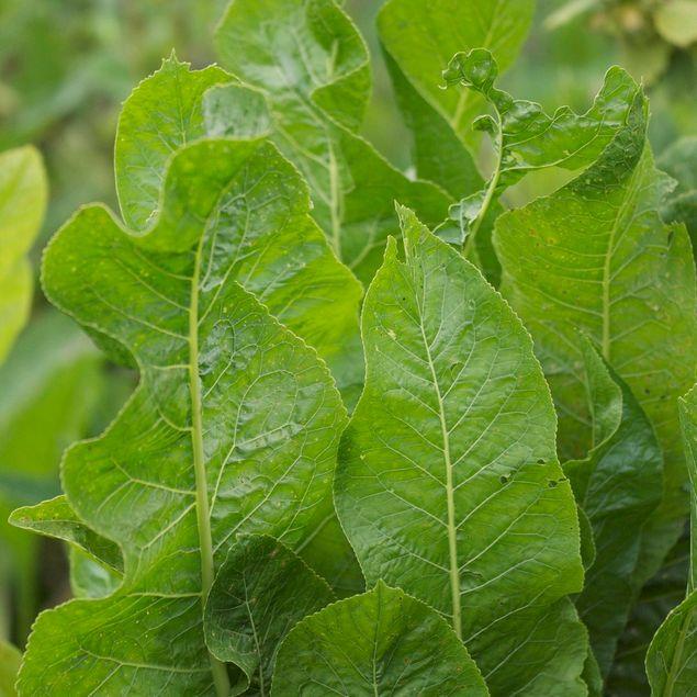 RAIFORT - PLANT