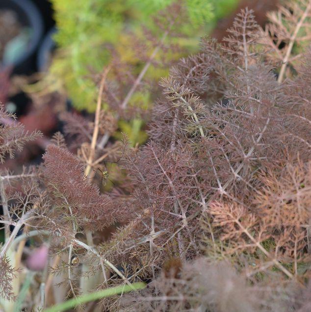 FENOUIL BRONZE - PLANT