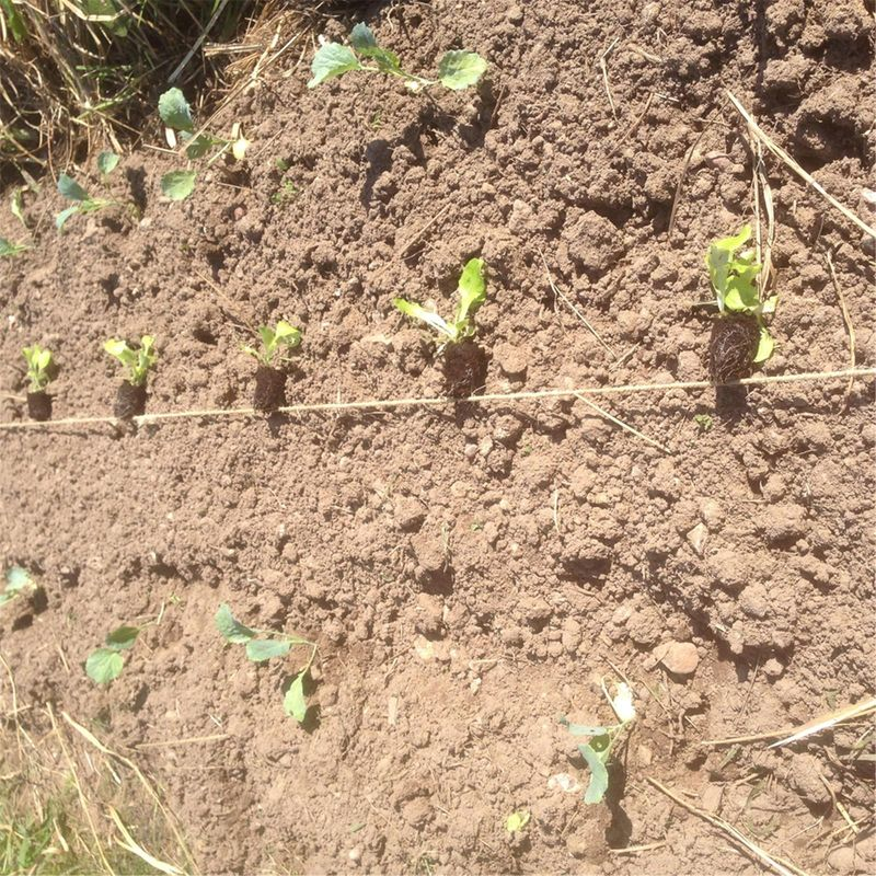 Comment planter des choux ferme de sainte marthe - Comment planter des poivrons ...