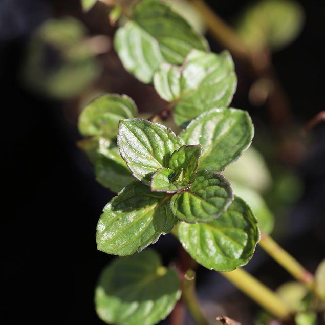 MENTHE REGLISSE - PLANT