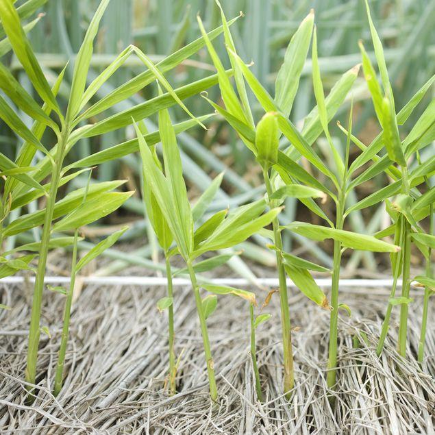 GINGEMBRE JAPONAIS RUSTIQUE - PLANT