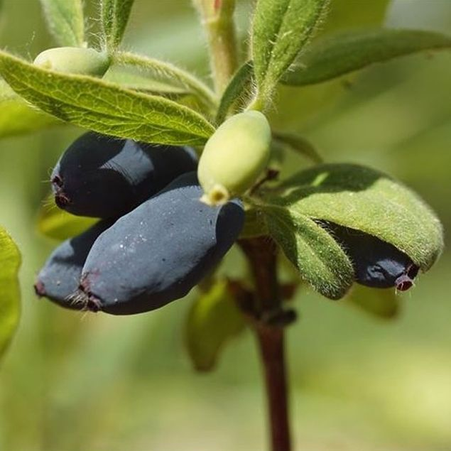 CHEVREFEUILLE COMESTIBLE EDULIS AB - PLANT