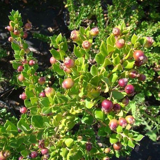 MYRTE COMMUNE APICULATA AB - PLANT