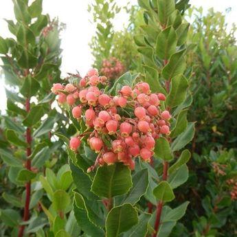 ARBOUSIER A FLEURS ROSES AB - PLANT