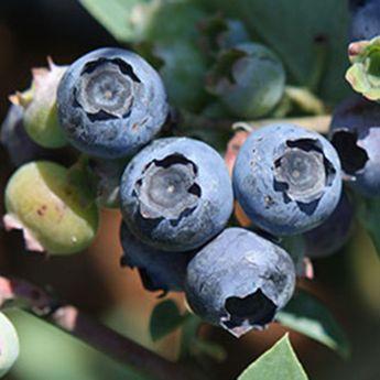 MYRTILLIER POWDER BLUE AB - PLANT