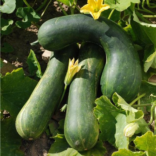 COURGE MUSQUEE LONGUE DE NICE AB