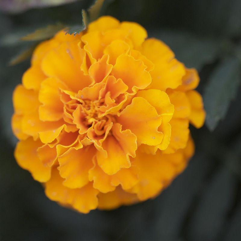 Oeillet d inde mandarin nt ferme de sainte marthe - Comment reconnaitre physalis comestible ...