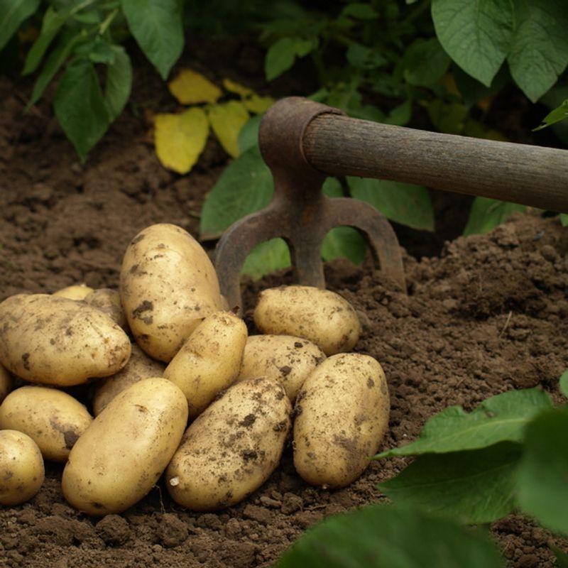 Comment conserver mes pommes de terre ferme de sainte - Comment conserver des pommes de terre coupees ...