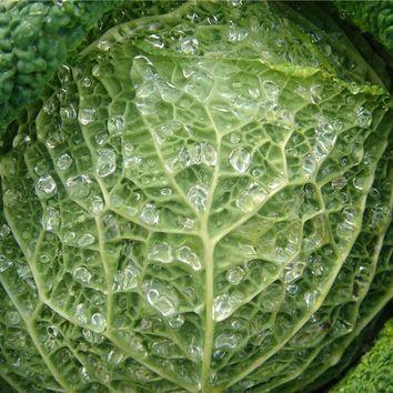 Réussir la culture des legumes potager I-Moyenne-735-reussir-la-culture-des-choux.net