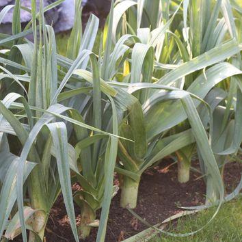 Réussir la culture des legumes potager I-Moyenne-7460-reussir-la-culture-des-poireaux.net