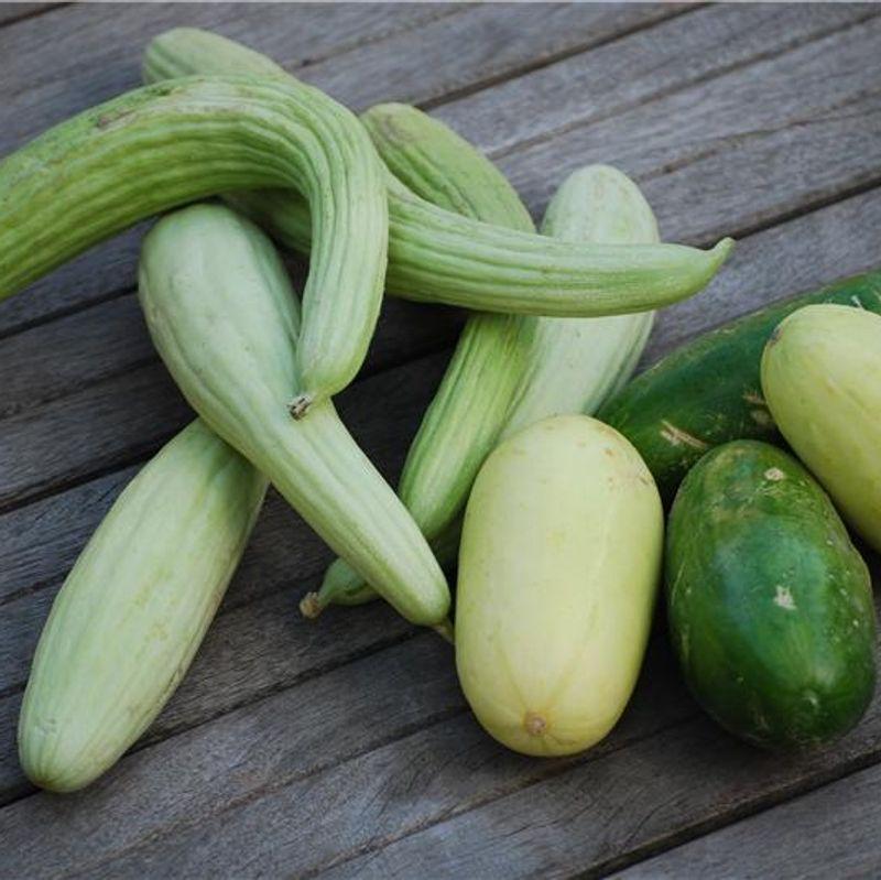 R ussir la culture du concombre et du cornichon ferme de sainte marthe - Variete de cornichon ...